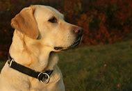 Golden Puppy Labrador Retriever Dog