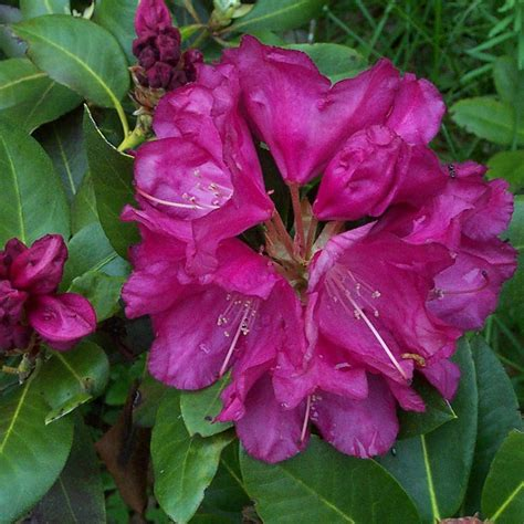 growing rhododendrons top 28 where do rhododendrons grow rhododendron growing how to grow rhododendrons that