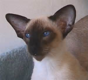seal point cat seal point siamese cats siamese cats and kittens
