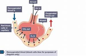 Igcse Biology Notes  2 38  Understand The Role Of