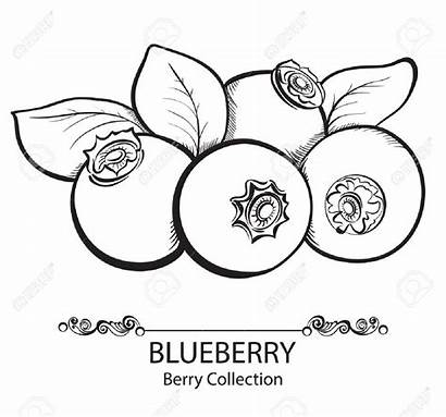 Clipart Blueberries Blueberry Outline Webstockreview