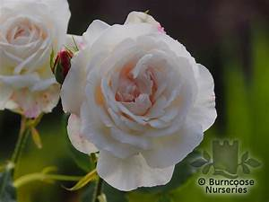 Boule De Rose : rosa 39 boule de neige 39 from burncoose nurseries shrub and species ~ Teatrodelosmanantiales.com Idées de Décoration