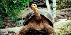 Galapagos Giant Tortoises Can Be Saved From Extinction