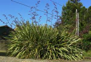 new zealand flax new zealand flax attracts bees and more adventures in natural beekeeping