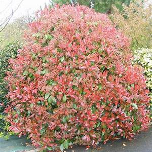 Photinia Red Robin : photinia fraseri 39 red robin 39 vente laurier rouge fotinia ~ Michelbontemps.com Haus und Dekorationen