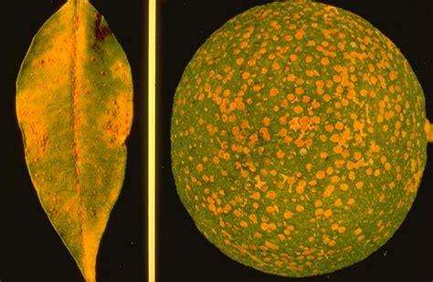 http://www.agraria.org/entomologia-agraria/cocciniglia-rossa-forte.htm