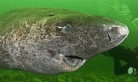 Greenland Shark Believed To Be 512 Years Old, Dubbed As ...