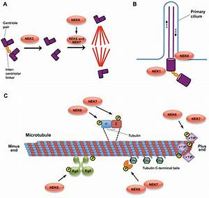 Cell Cycle Regulation By The Nek Family Of Protein Kinases