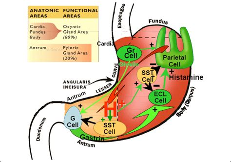 Veterinary Online-physiology Of Digestion