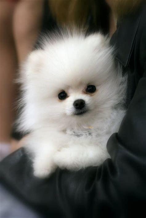 white pomeranian puppies   buy  sale