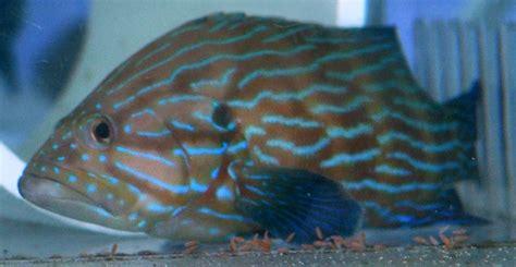 grouper line formosa cephalopholis aggressive fish