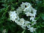 Solanum laxum - Wikipedia
