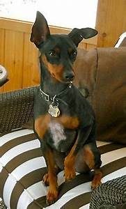 manchester terrier puppy - From your friends at phoenix ...