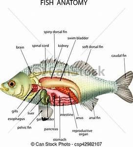 Anatomía, pez, vector, ilustración clipart vectorial Buscar imágenes de ilustraciones, dibujos