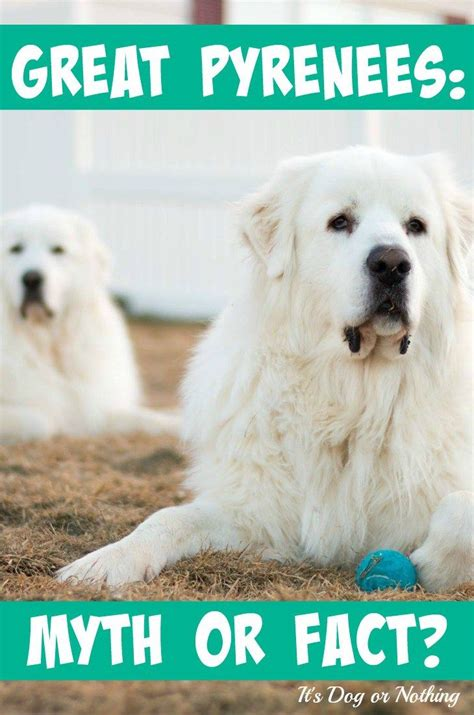 Great Pyrenees Shedding Help by 25 Best Ideas About Pyrenees Puppies On Great