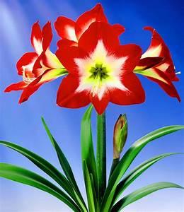 Sind Ranunkeln Winterhart : amaryllis tres chic top qualit t kaufen baldur garten ~ Markanthonyermac.com Haus und Dekorationen