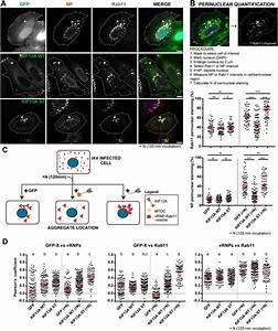 Kif13a Mediates Trafficking Of Influenza A Virus Ribonucleoproteins