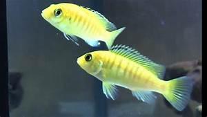 Fische Aquarium Hamburg : aquarium bekommt neue fische 49 labidochromis caeruleus ~ Lizthompson.info Haus und Dekorationen
