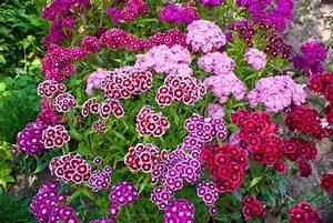 Oeillet De Poete : oeillet semer et planter ooreka ~ Melissatoandfro.com Idées de Décoration
