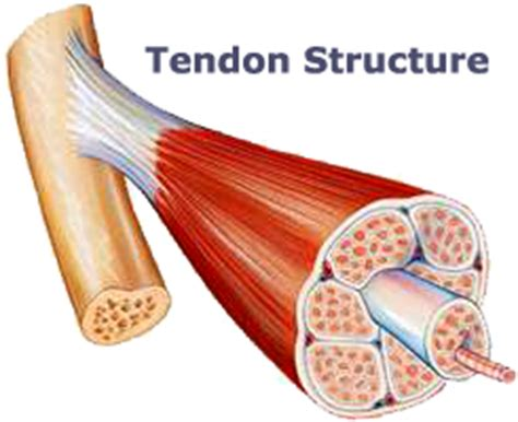 The golgi tendon organ (gto) (also called golgi organ, tendon organ, neurotendinous organ or neurotendinous spindle) is a proprioceptive sensory receptor organ that senses changes in muscle tension. AEC Client Education - PD Tenosynovitis