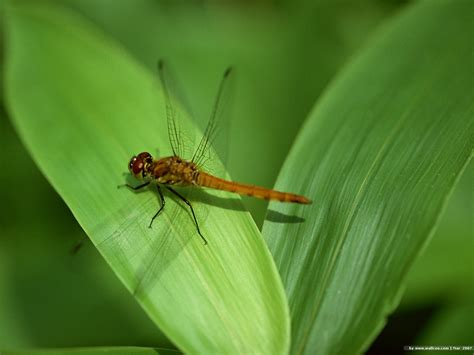 Dragonfly Wallpaper For Home