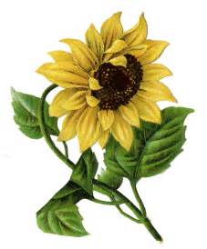 Vintage Sunflower Clip Art Free