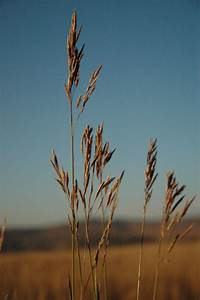 Mountain Brome | Pawnee Buttes Seed Inc.