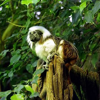 Tamarin Wikipedia Cotton Cottontop Saguinus Oedipus Wiki