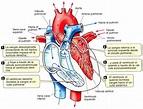 Fases del ciclo cardíaco » Blog de Biología
