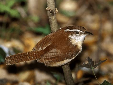 south carolina sc state bird list of 50 state birdes of
