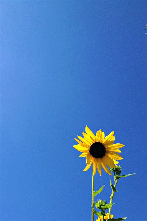 yellow sunflower   sapphire blue sky beach bum chix