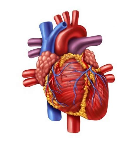 human heart clipart png clipground