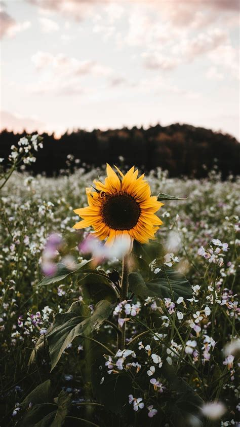 aesthetic sunflower field wallpapers