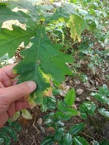 Pflanze Große Blätter : kleine eiche gro e bl tter ~ Avissmed.com Haus und Dekorationen