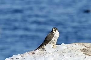 Canon Bird Branch Project   Biodiversity Initiatives ...  Falcon