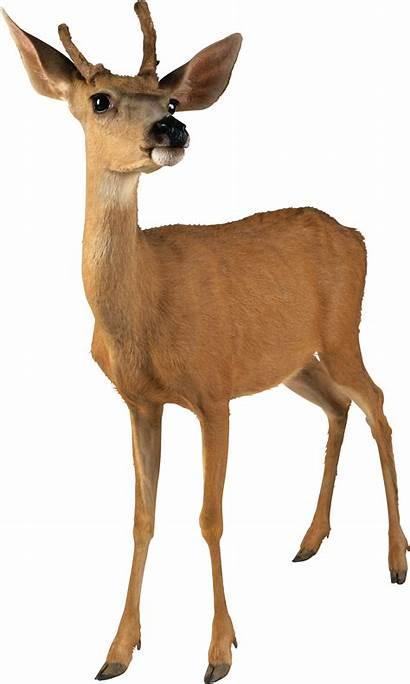 Deer Female Doe Transparent Clipart Animals Pngimg