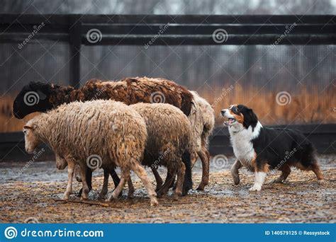 Running Sheep Royalty Free Stock Image Cartoondealer