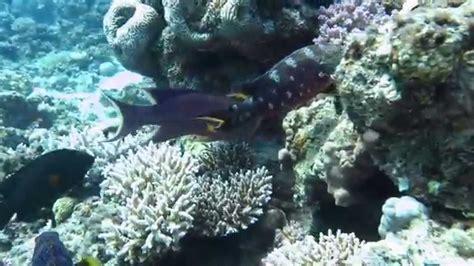 grouper moray eel hunting