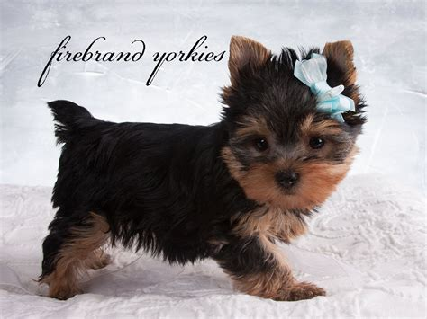 Yorkie Puppies Images Pics Of Yorkie Puppies Www Pixshark Images