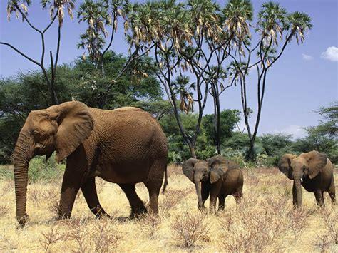 Safari Animal Wallpaper - wallpapers elephant wallpapers