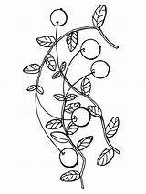 Cranberry Coloring Pages Colouring Berries Fruits Picolour Printable Colors Recommended sketch template