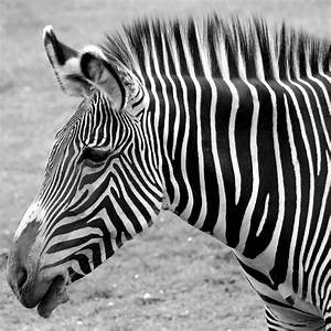 Zebra - Here It Is In Black And White Photograph by Gordon ...