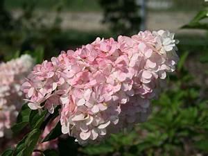Hydrangea Paniculata Schneiden : rispenhortensie 39 vanille fraise 39 hydrangea paniculata ~ Lizthompson.info Haus und Dekorationen