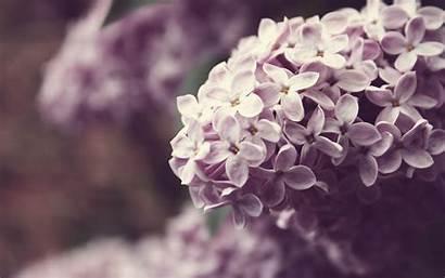 Lilac Flower Spring Wallpapers Desktop Purple Screensavers