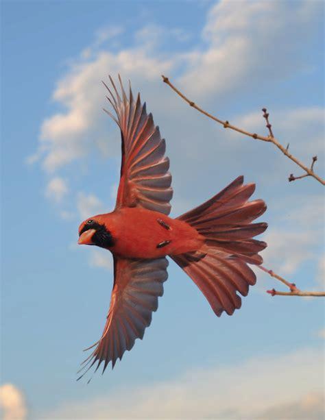 cardinal in flight 02 22 2014 554 cardinal flying off a