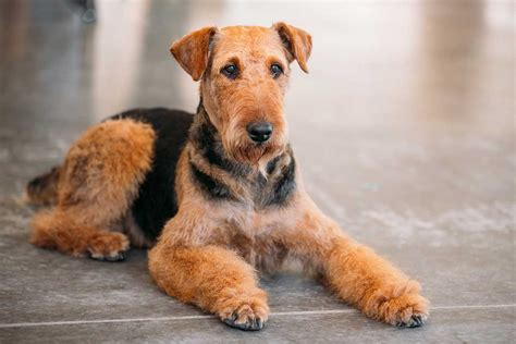 do airedale puppies shed airedale terrier breed pictures photos images