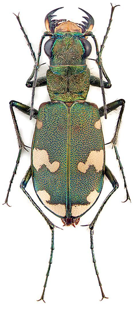 Cicindela sylvicola Latr. et Dej. (Carabidae) - фото М.Э ...
