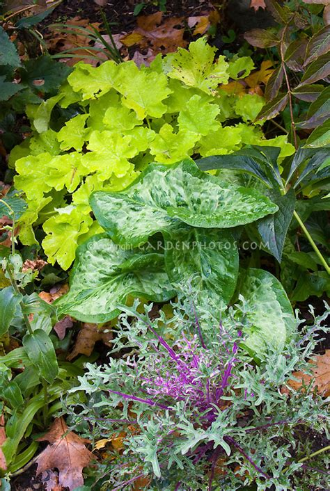 ornamental kale perennial peacock kale arum italicum heuchera citronelle plant flower stock photography