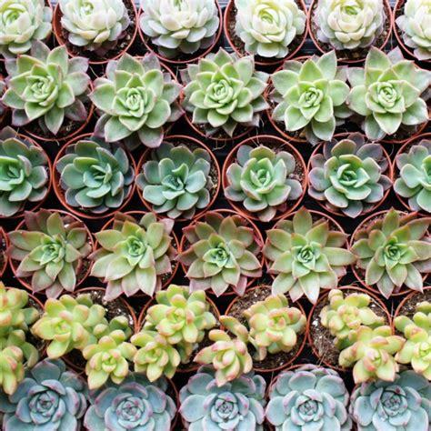 mini plante grasse mini plantes grasses arr 233 e succulentes