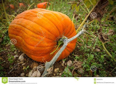 Pumpkin Growing Stock Photo Image Of Green, Lantern